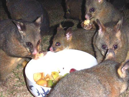 possumsfood